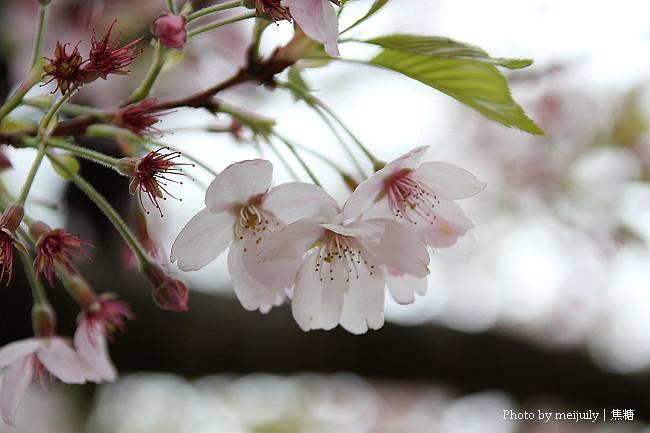 阿里山櫻花季陰天版18