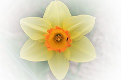 Yellow Narcissus With Orange Cup Matte Effect (Chrisser) Tags: flowers ontario canada nature photoshop garden spring gardening fourseasons bulbs closeups narcissus amaryllidaceae itsanaddiction matteeffect canonefs1855mmf3556islens canoneosrebelt1i