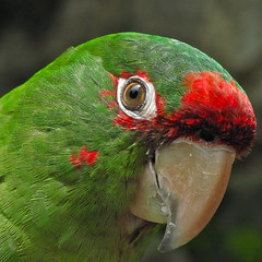 Bird Head (Mondmann) Tags: red green bird peru nature animal wildlife natureza feathers ave passaro birdhead mitredconure aratingamitrata mondmann mitredparakeet canonpowershotg10