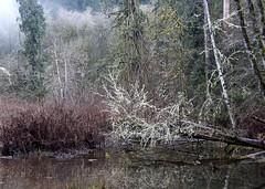 Muted Winter Color (David Badke) Tags: langford bc creek moss nature river tree lichen