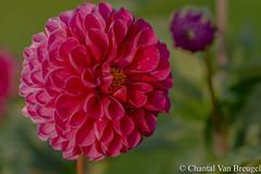 Dahlia (Chantal van Breugel) Tags: bloemen macro knollen dahlia marknesse noordoostpolder flevoland canon5dmark111 canon100mm