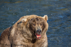 Brown Bear - IMG_0167 (arvind agrawal) Tags: brownbear grizzly grizzlybear katmainationalpark alaska brooksriver otis bear480