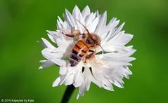 White Pollen View 2 (Kaptured by Kala) Tags: honeybee apismellifera bachelorbutton centaureacyanus wildflower whiteflower bee pollen pollinator polli whitepollen richlandcommunitycollege dallastexas