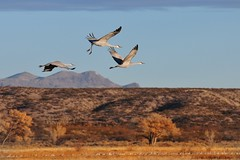 third wheel (bytegirl24) Tags: mountain newmexico birds hills cranes bosque waterfowl mag sandhillcrane bosquedelapachenationalwildliferefuge