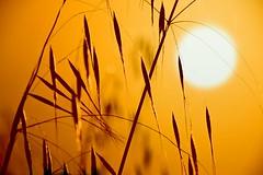 Los instantes nos pertenecen.. / The moments are memories (Inmacor) Tags: sunset sun luz sol contraluz atardecer golden momentos espigas sensaciones ltytr2 ltytr1 ltytr3 superlativas inmacor flickrawardgallery doradoa