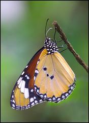 Branching Out. (Phil Dodd CPAGB BPE1*) Tags: macro nature closeup wildlife butterflies naturalhistory dapa sigma105mmmacrolens dapagroupmeritaward dapagroupmeritaward3 dapagroupmeritaward2