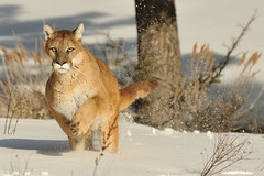 Mountain Lion in Snow (Ami 211) Tags: usa snow feline puma cougar bigcats mountainlion pumaconcolor felidae felinae impressedbeauty mountainlioninsnow cougarinsnow£puma