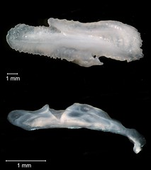Bluefish Otolith (FWC Research) Tags: fish florida research otolith