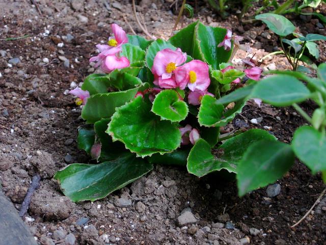 ベコニアの花のフリー写真素材