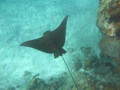 ray (bluewavechris) Tags: ocean life sea nature water animal coral swim hawaii sand marine ray underwater snorkel eagle bue wildlife dive maui reef creature