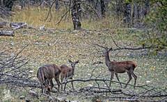 En la Sierra de Cazorla (Urugallu) Tags: espaa color familia fauna canon spain flickr andalucia otoo animales jaen cazorla sierradecazorla
