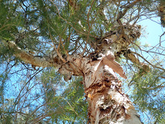 lookingup paperbark P2130591 - by quadrapop