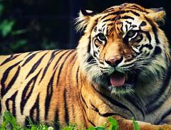 IMG_4831 (Mary Susan Smith) Tags: tongue cat mammal furry tiger large superhero siberian striped torontozoo bigmomma gamewinner herowinner storybookwinner pregamewinner