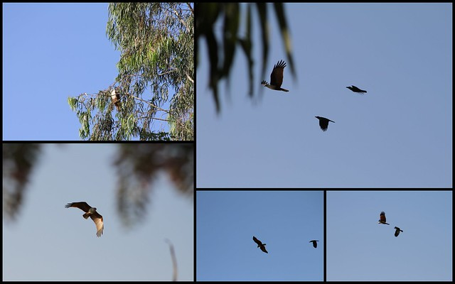Mobbing - Brahminy Kite VS. Common Crows