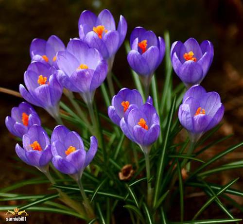 Crocus etruscus....... (Archive for Spring)