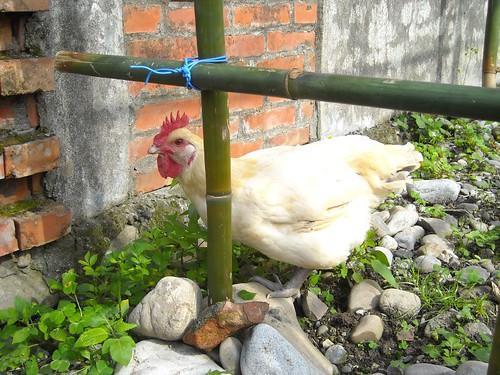 在瓜棚邊的白雞