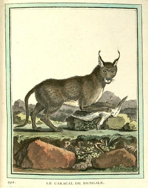 Bengal Caracal