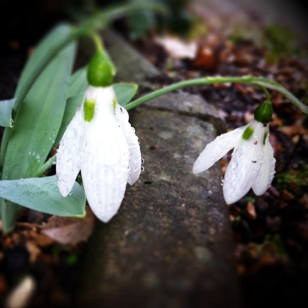 Snow drops are out!