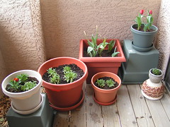 Balcony Garden (ocelot1) Tags: flowers red orange plants plant flower garden tulips balcony pot pots pottedplants tulip poppies marigold marigolds tulipa containergarden alyssum tagetes balconygarden papavernudicaule lobulariamaritima icelandpoppies