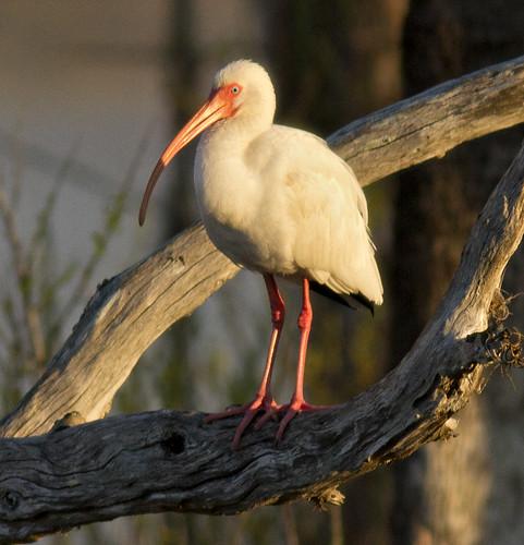 White Ibis-b