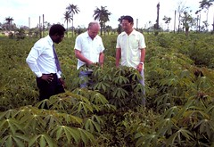 Scientists evaluating cassava in cassava exper...