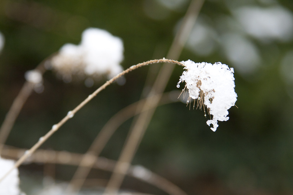 Snow on Pennisetum Hameln
