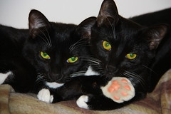 IMG_3662 (SweetMeow) Tags: cats home misty paw felix tuxedocats hiltonhead