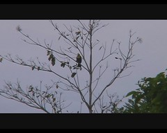 Ramphastos swainsonii (Chestnut-mandibled Toucan) (Arthur Chapman) Tags: video costarica jac ramphastos ramphastosswainsonii jacobeach playajac swainsonii taxonomy:class=aves taxonomy:kingdom=animalia taxonomy:phylum=chordata taxonomy:genus=ramphastos geocode:accuracy=1000meters geocode:method=googleearth geo:country=costarica taxonomy:family=ramphastidae taxonomy:binomial=ramphastosswainsonii geo:region=centralamerica chestnutmandibledtoucon taxonomy:order=picifoprmes taxonomy:common=chestnutmandibledtoucon