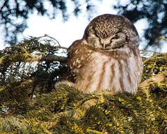 Boreal Owl by Andrea Pokrzywinski