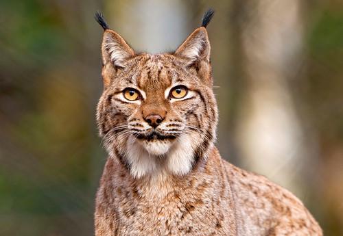 フリー写真素材, 動物, 哺乳類, ネコ科, オオヤマネコ/リンクス,