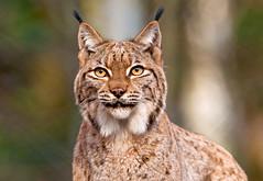 [フリー画像] 動物, 哺乳類, ネコ科, オオヤマネコ/リンクス, 201103081100