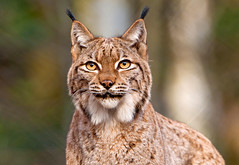 Lynx looking right at me (Tambako the Jaguar) Tags: portrait face cat switzerland intense eyes nikon feline pretty looking watching ears zürich staring tierpark langenberg lynx wildpark d300