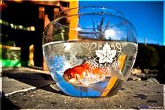 What's So Bad About Being Sel-Fish? (Pyranha Photography | 1000k views - THX) Tags: sky fish canon garden eos pond stones himmel fisch steine teich bushes garten schssel glas strucher 60d flickraward flickrunitedaward doublyniceshot ringexcellence