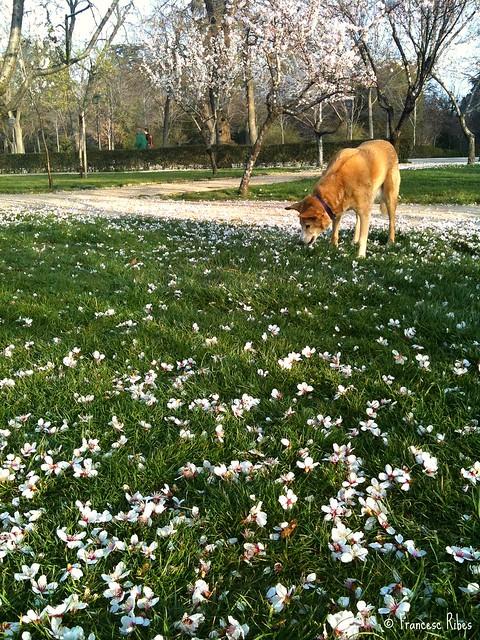 (310) Comiendo flores de almendro