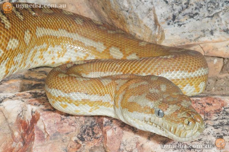 Centralian carpet python (Morelia spilota bredli)