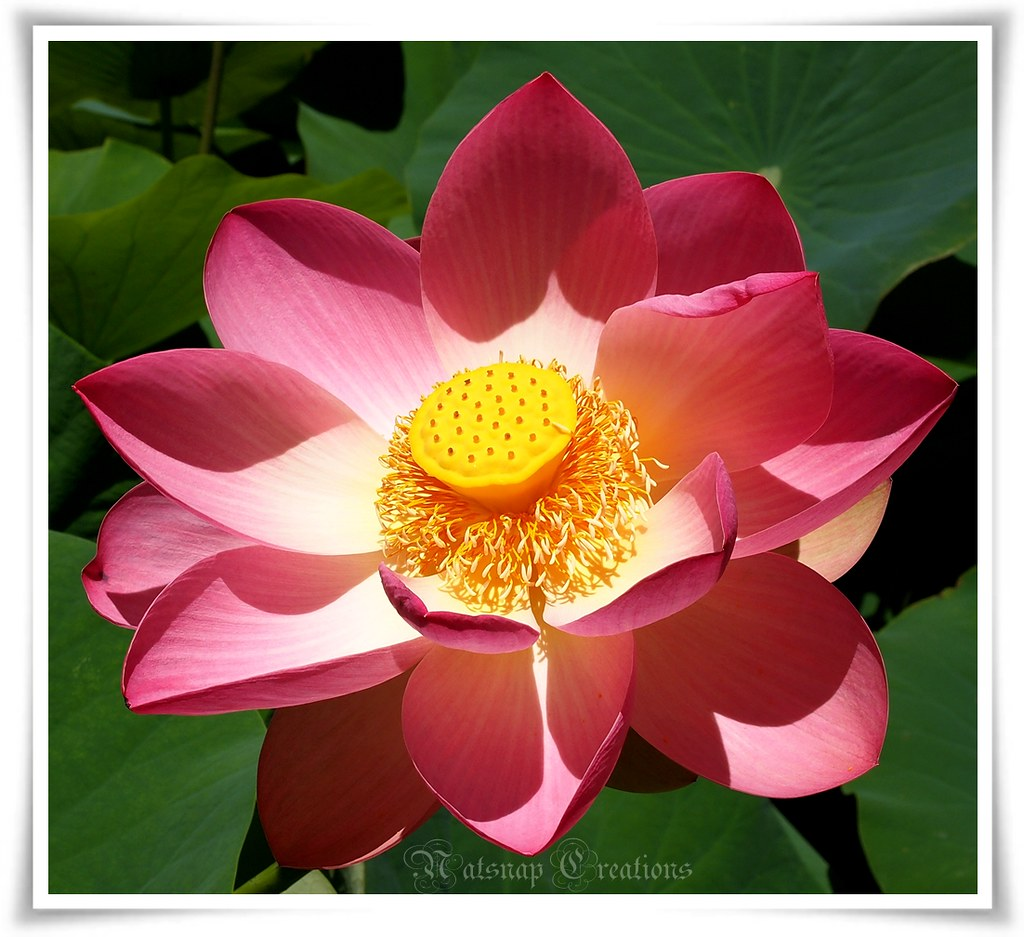 Lotus bloom~¦~to Japan with love~¦~