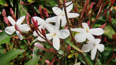 Star Jasmin (rosaliamarteaga17) Tags: california plants white verde green art primavera blanco garden star photo spring plantas perfume group jardin vine jasmin eastpaloalto jazmin vagetation mixedflowers florews mimamorflowers amazingdetails