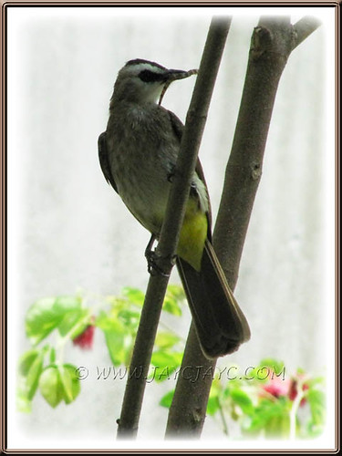 Pycnonotus goiavier (Yellow-vented Bulbul) bringing food for her young