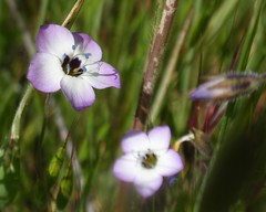 Birdseye Gilia 02 (Tom Hilton) Tags: color wildflowers gilia polemoniaceae giliatricolor windwolvespreserve