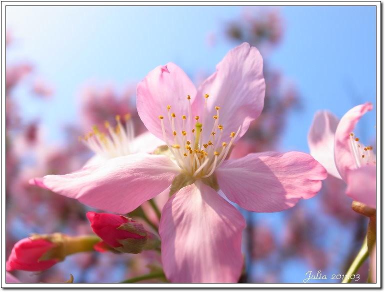 櫻花 (12)