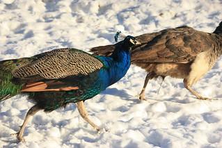 peacocks running