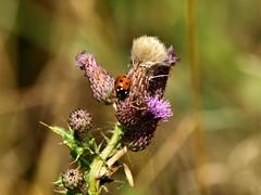 Ladybird on a Thistle (saxonfenken) Tags: thistle ladybird dof bokeh insectplant flower weed pregamesweepwinner gamewinner storybook storybookwinner pregameduelwinner thechallengefactory bigmomma 6967insect 6967 challengewinner perpetual