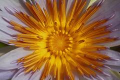 Sunburst (OzeGirl1) Tags: flower nature petals bloom lotusflower bluelotusfarmyarrajunction