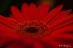 Royal Red (T i s d a l e) Tags: autumn red fall field nikon october farm gerbera daisy tisdale redder cutflower royalred d40 flowershed easternnc2010
