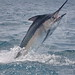 Andrew Nolasco-Black Marlin (5)