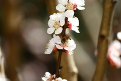 IMG_3638.JPG (Cristian Marchi) Tags: flower tree primavera fruit garden march spring bee apricot fiore albero marzo api pollination polline albicocca fioritura impollinazione