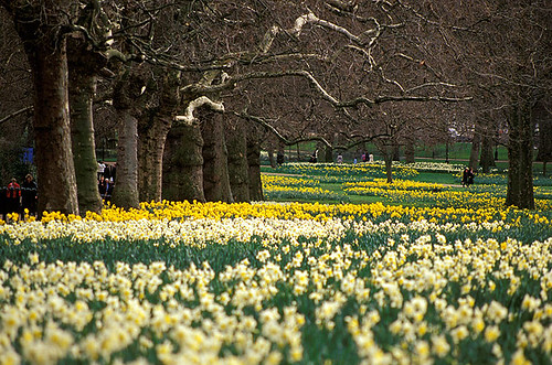 Spring daffodils in Green Park, London