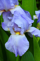 Blue Iris (jball359) Tags: flowers macro canon softfocus blueiris xsi niksoftware 60mmf28macrousm pse9 photoshopelements9