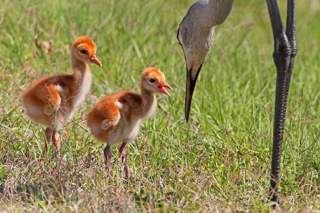 Feeding Time for baby Sandhill Cranes