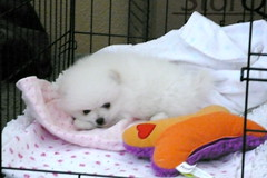 baby sir (tuckid) (six7777) Tags: bear dog white puppy teddy 8 weeks pomeranian eight akc tuckid